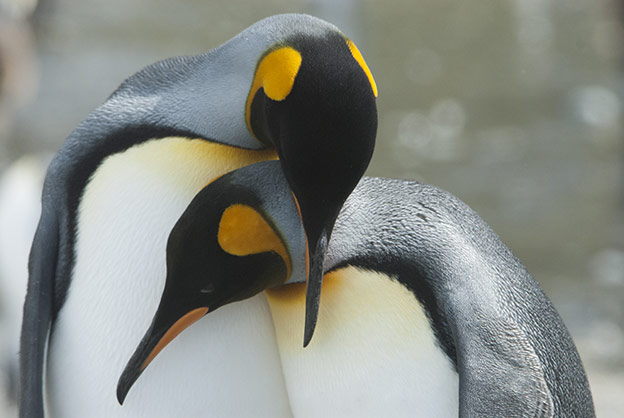 King penguin couple nuzzling