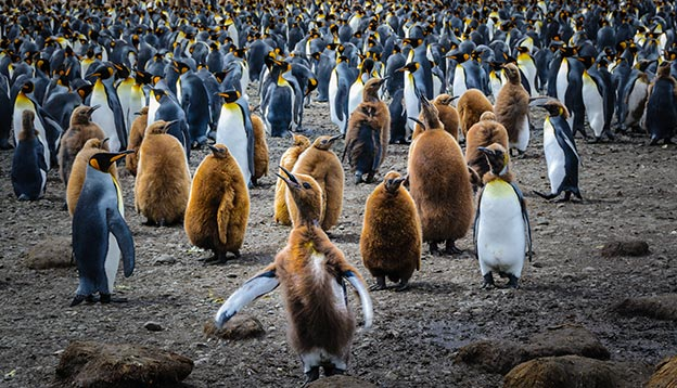 King penguin chicks and their parents.