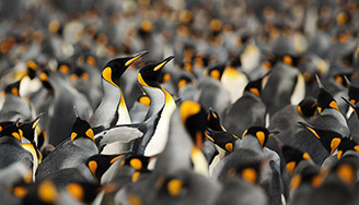 King Penguins huddle together