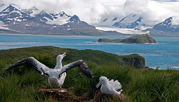 2 wandering albatross on a grassy hill overlooking a bay with snow capped mountains in South Georgia