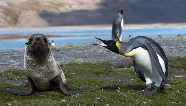 King penguin yalls at a fur seal pup