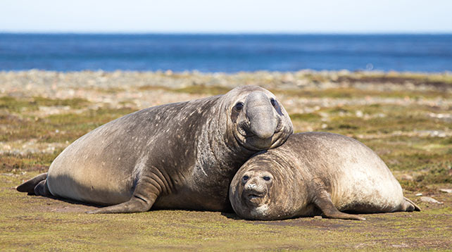 Pair of Southern Elephant Seals Falkland Islands.