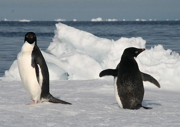 Adelie penguins on ice floe Balleny Islands Antarctica