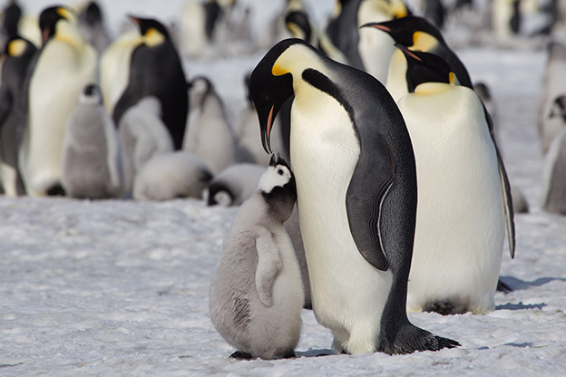 Emperor penguin feeds its chick
