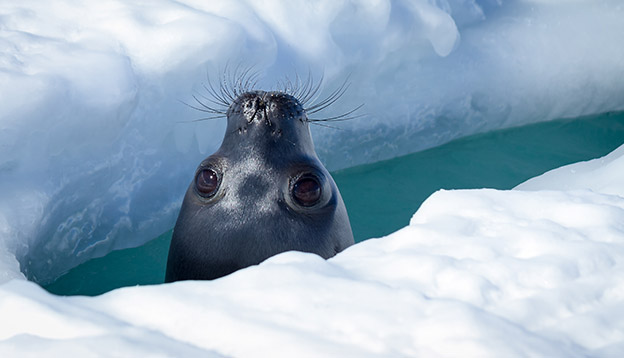 Weddel Seal pokes its nose up through a hole in the ice